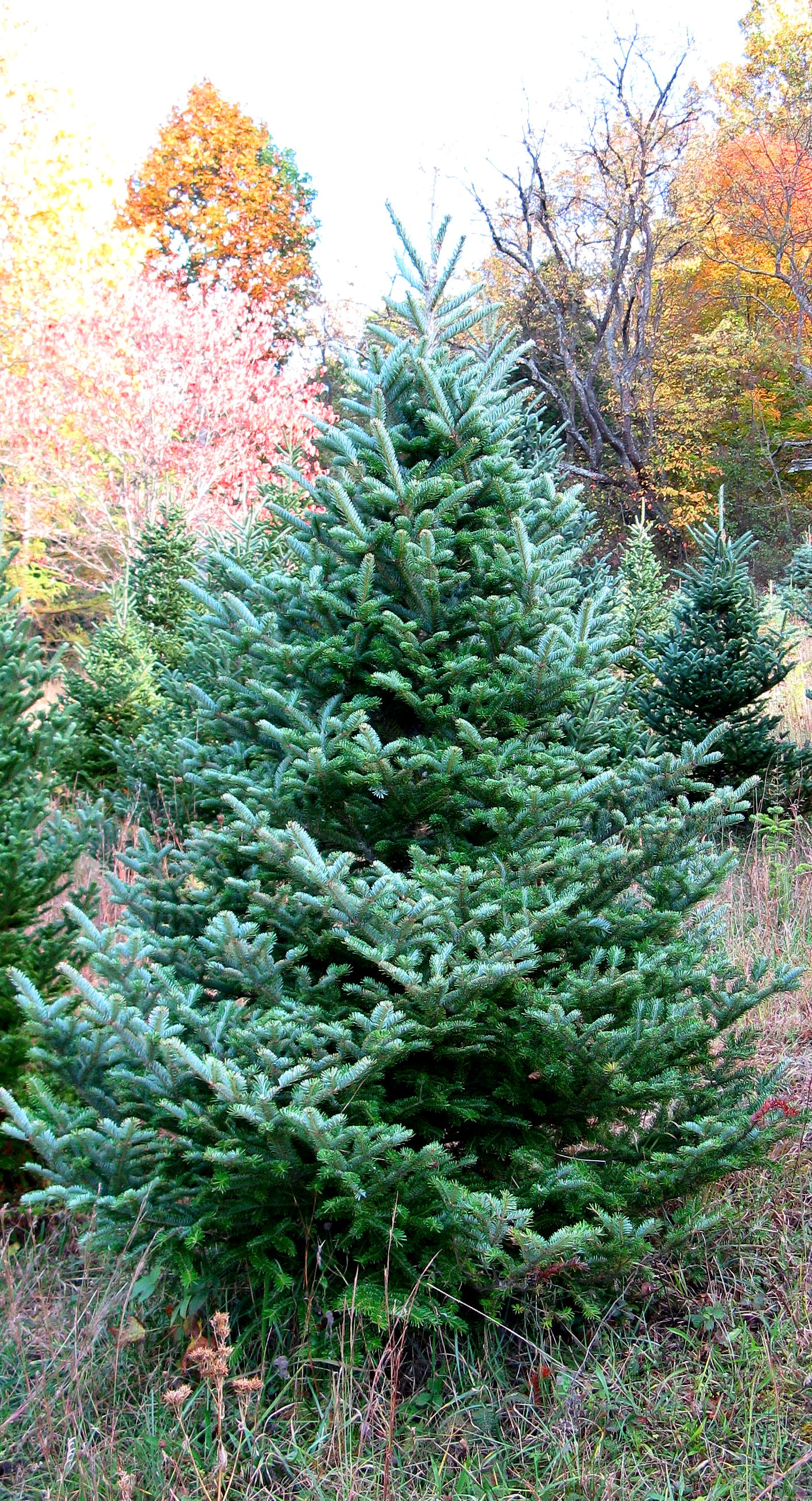 North Carolina Fraser Fir Christmas Trees
