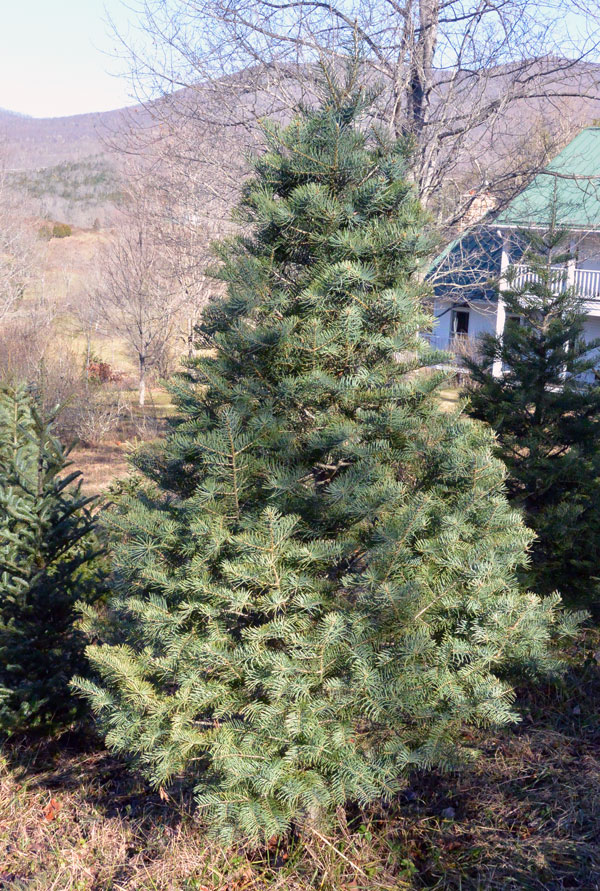 The Concolor Fir (Abies concolor), sometimes called the White Fir or  Colorado White Fir, is a native of the Rocky Mountains. As with all Firs it  is a high ... - Concolor Fir Clover Hollow Christmas Tree Farm