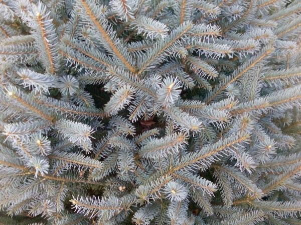 Myer Spruce Clover Hollow Christmas Tree Farm